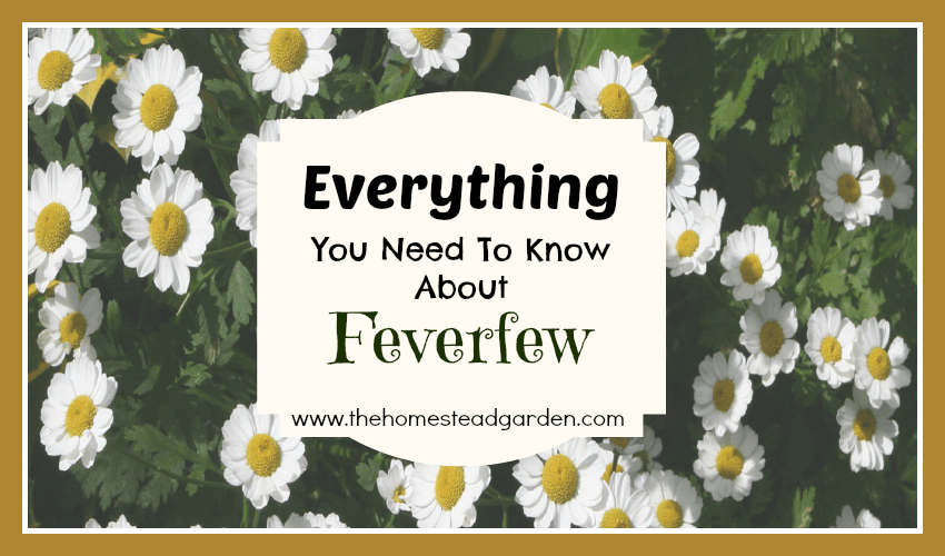 Everything You Need To Know About Feverfew The Homestead Garden