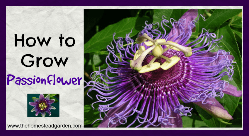 How to Grow Passionflower Fb