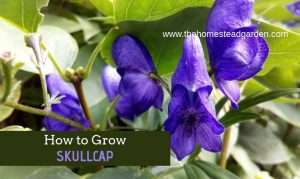 How to Grow Skullcap