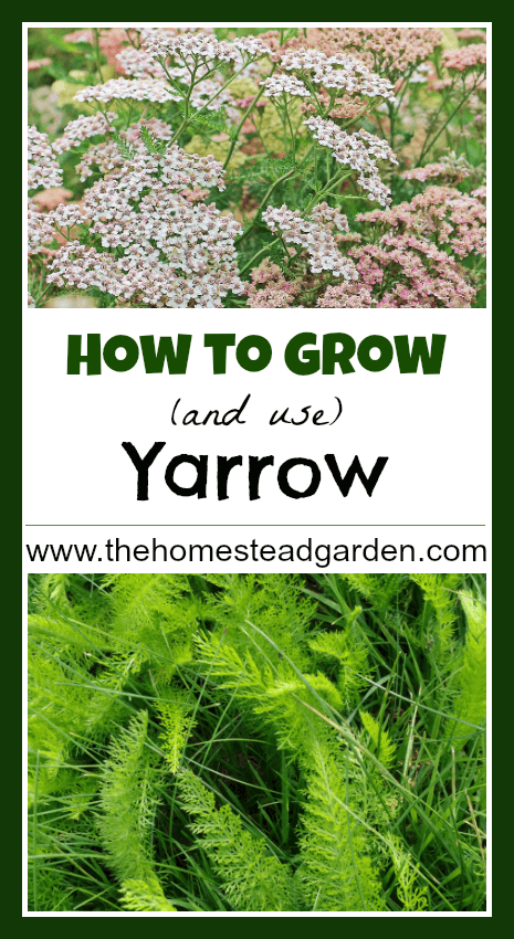 How to Grow and Use Yarrow
