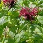 Bergamot / Bee Balm