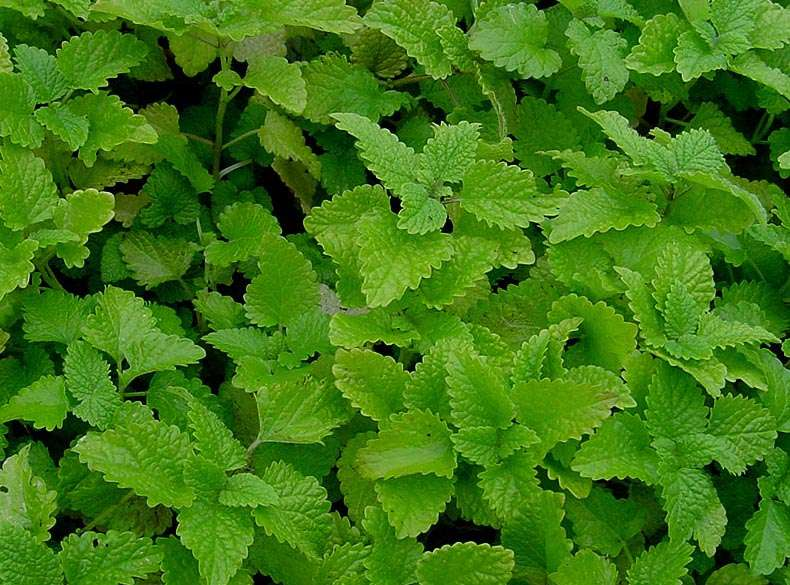 Everything you need to know about lemon balm the Planting lemon seeds for smell