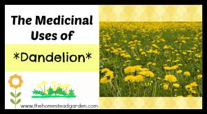 Medicinal Uses of Dandelion