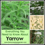Everything You Need to Know About Yarrow