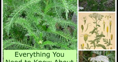 How to Grow and Use Yarrow