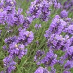 Medicinal Uses of Lavender