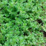 Thyme: Medicinal recipe for respiratory tract infections