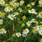 Medicinal Uses of Chamomile