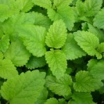 Medicinal Uses of Lemon Balm