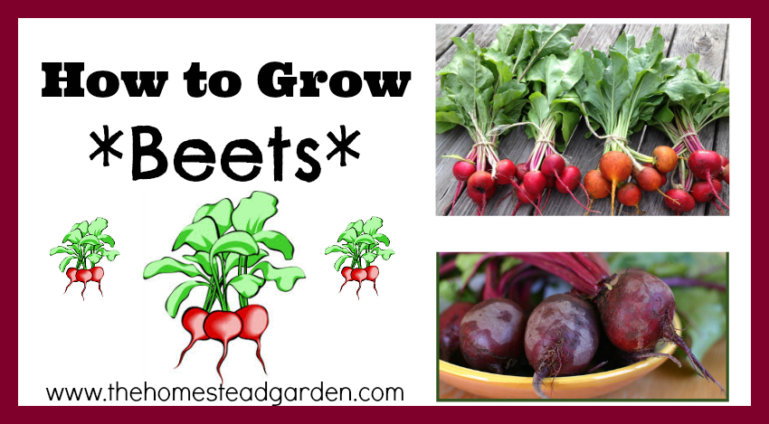 How to Grow Beets fb