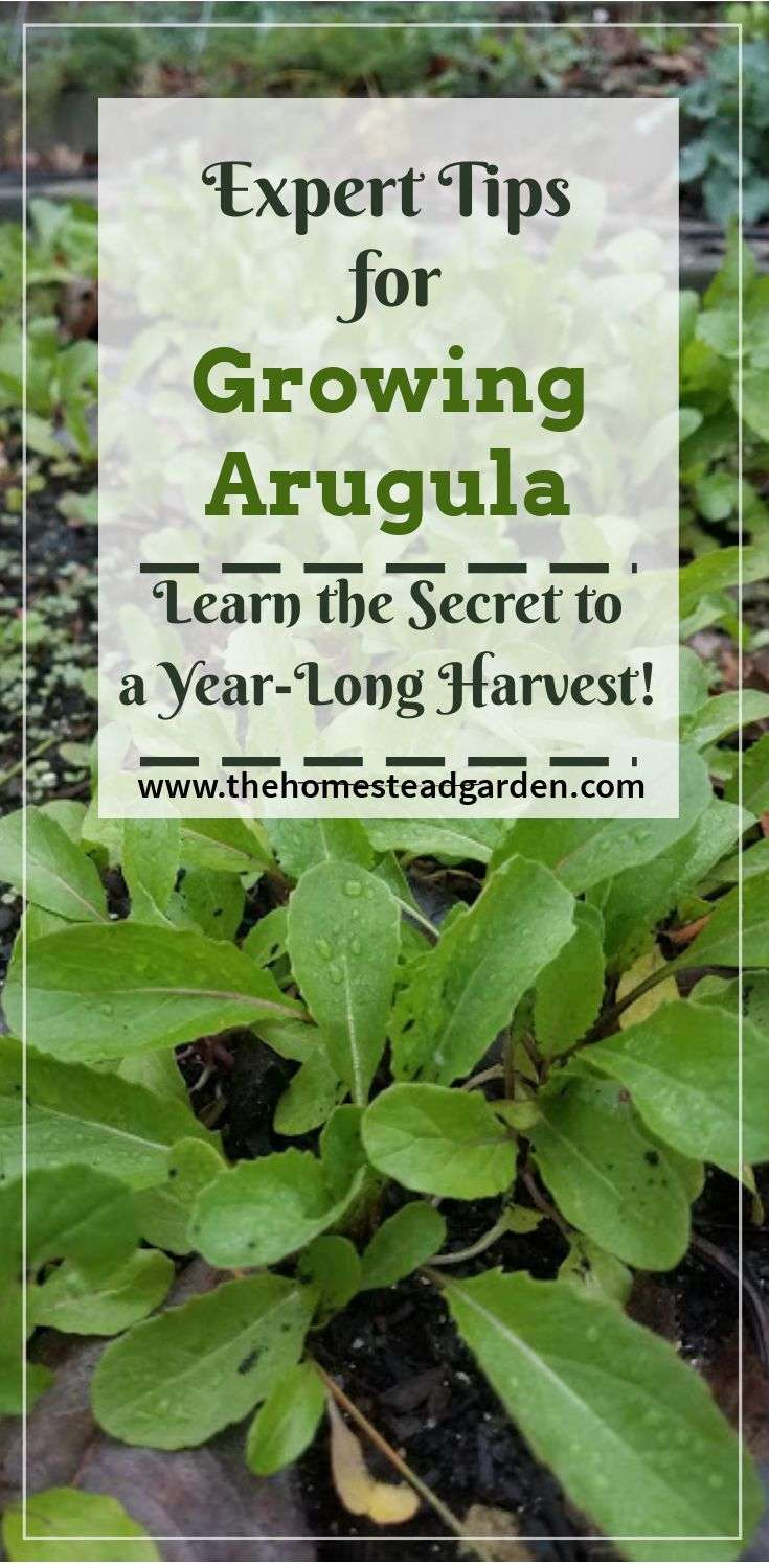 How to Grow Arugula: Expert Tips for a Year-Long Harvest