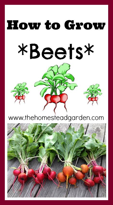 How to Grow Beets The Homestead Garden The Homestead Garden