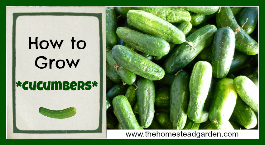 How To Grow Cucumbers The Homestead Garden