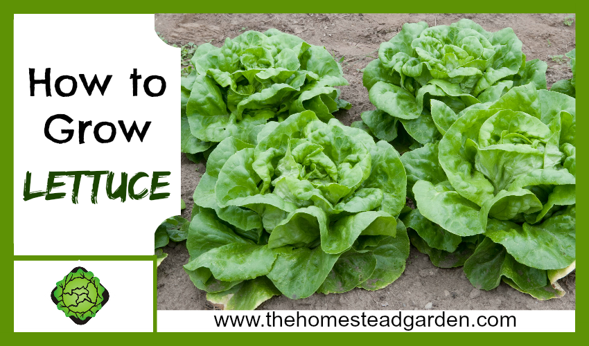 How to Grow Lettuce fb