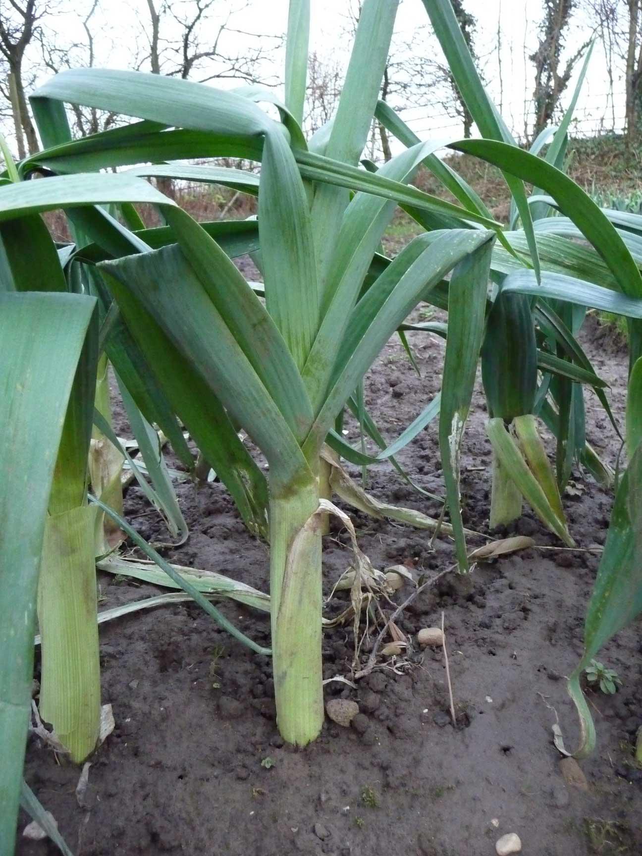 How to Grow Leeks - The Homestead Garden | The Homestead ... Leek Companion Plants