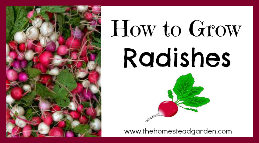How to Grow Radishes fb