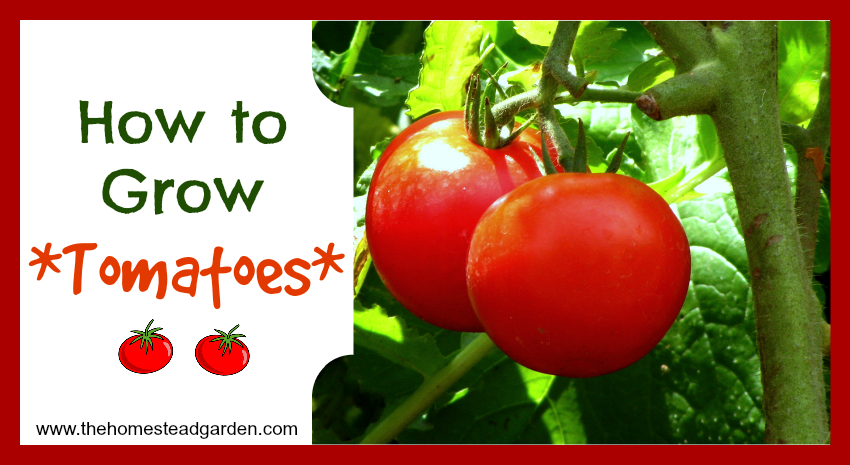 how to grow tomatoes  the homestead garden  the homestead garden, Natural flower