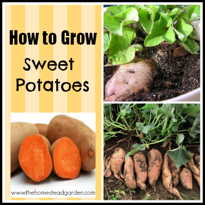 How to Grow Sweet Potatoes: Collage