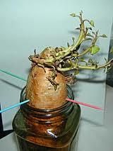 sweetpotatoe