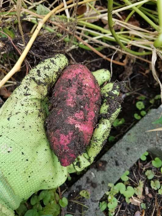 How to Grow Sweet Potatoes: Harvest