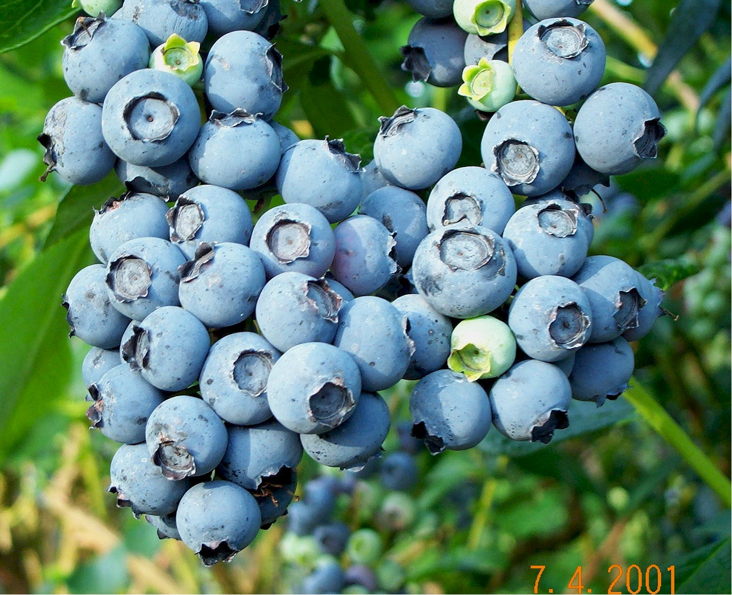 How To Grow Blueberries The Homestead Garden The