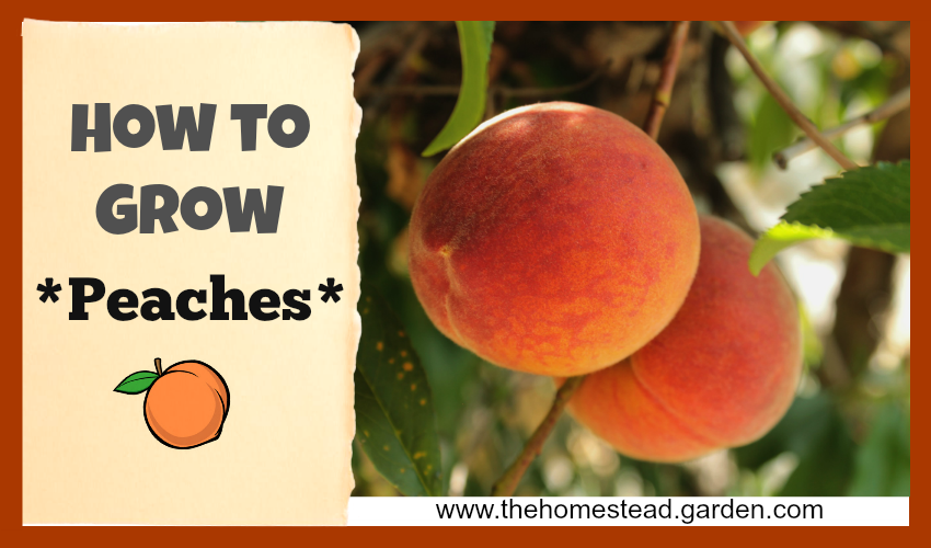 How to Grow Peaches fb