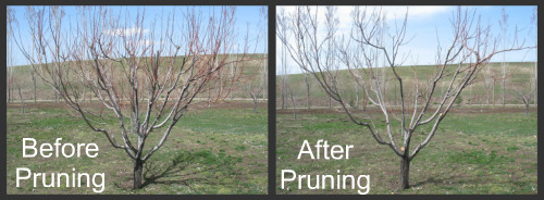lower peach tree single personals Growing peaches and nectarines in the home landscape  a single peach or nectarine tree can,  lower the tree to the desired height by pruning the scaffolds to an outward growing.