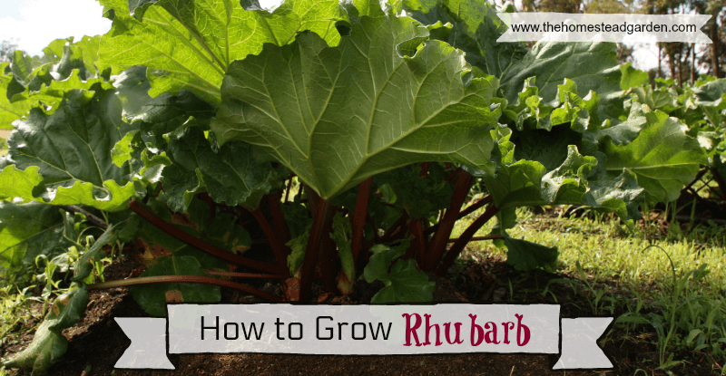 How to Grow Rhubarb