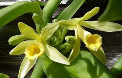vanillaflower
