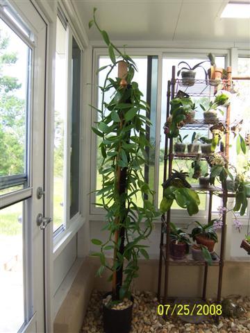 Vanilla growing indoors
