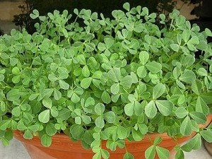 fenugreek-plants