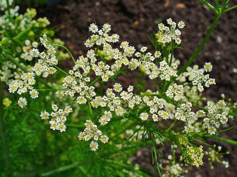 caraway-flower