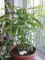 gingerplant