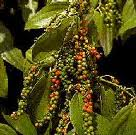 peppercorns2