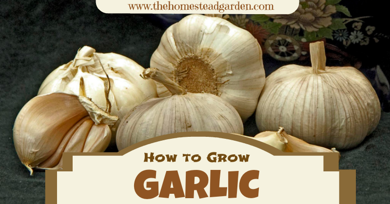 Garlicfac