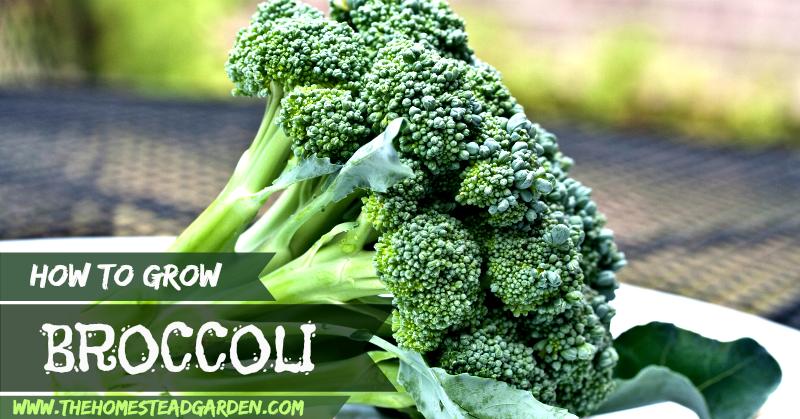 How to Grow Broccoli fb