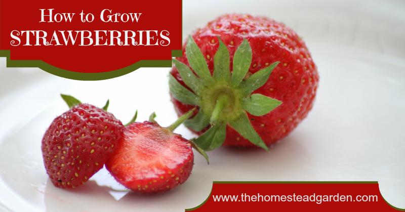 strawberries fac