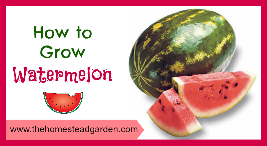 How to Grow Watermelon fb