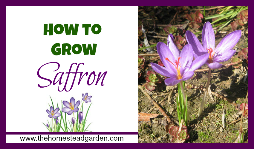 How to grow saffron the homestead garden for Plants to grow in garden