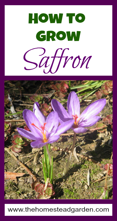 How To Grow It And How To Use It For: How To Grow Saffron - The Homestead Garden