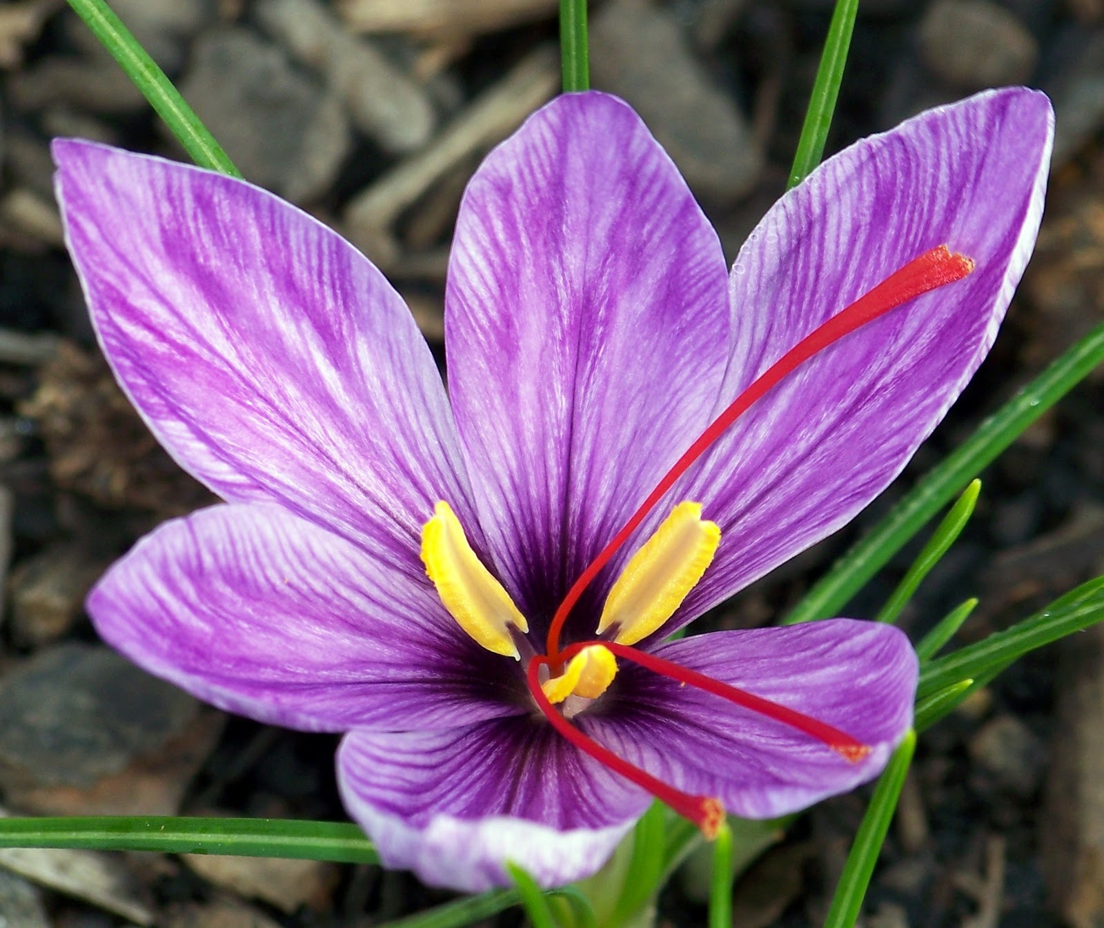 how to grow saffron in india
