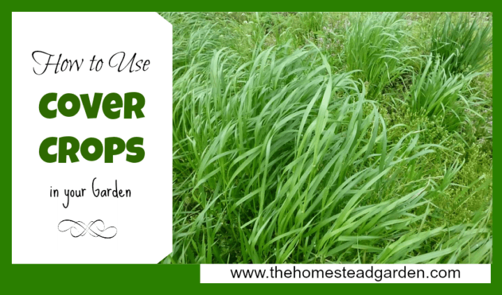 Cover crops in the garden the homestead garden - Cover crops for vegetable gardens ...
