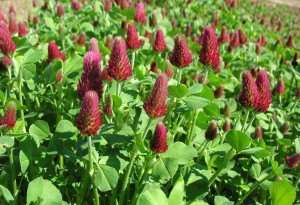 Crimson clover cover crop