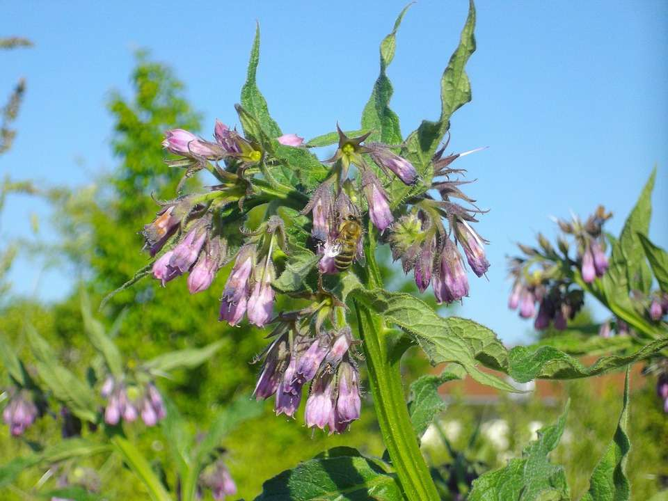 How to Make Comfrey Infused Oil: The comfrey plant is great for bees, too