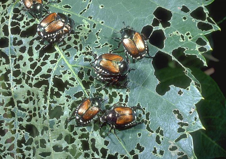 japanese-beetle-damage_1_full_width