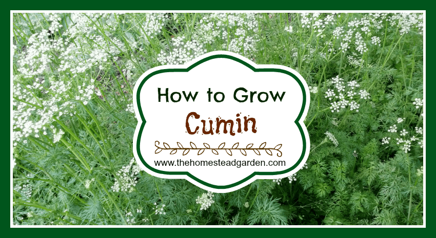 How to Grow Cumin fb