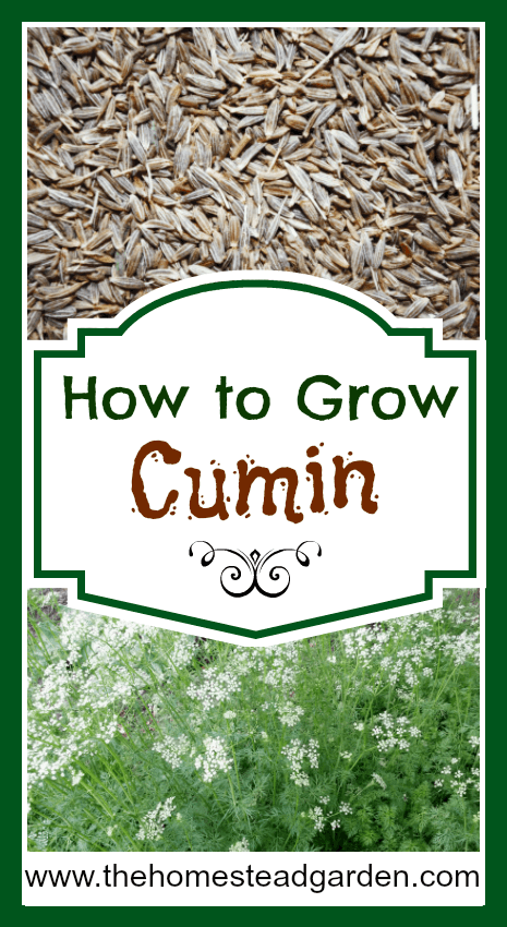 How to Grow Cumin