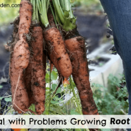 How to Deal with Problems Growing Root Vegetables fb