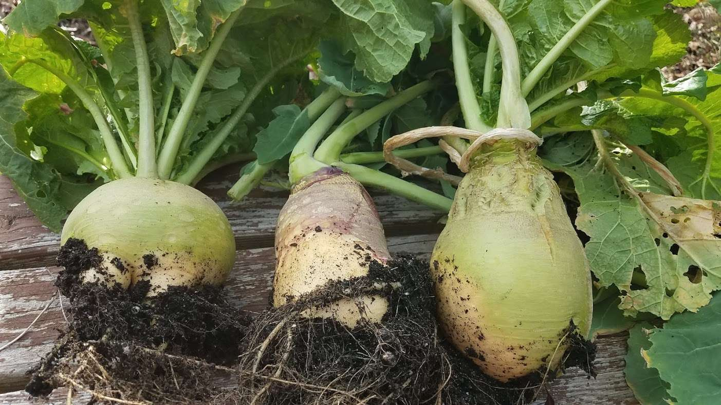 Successful Root Vegetables