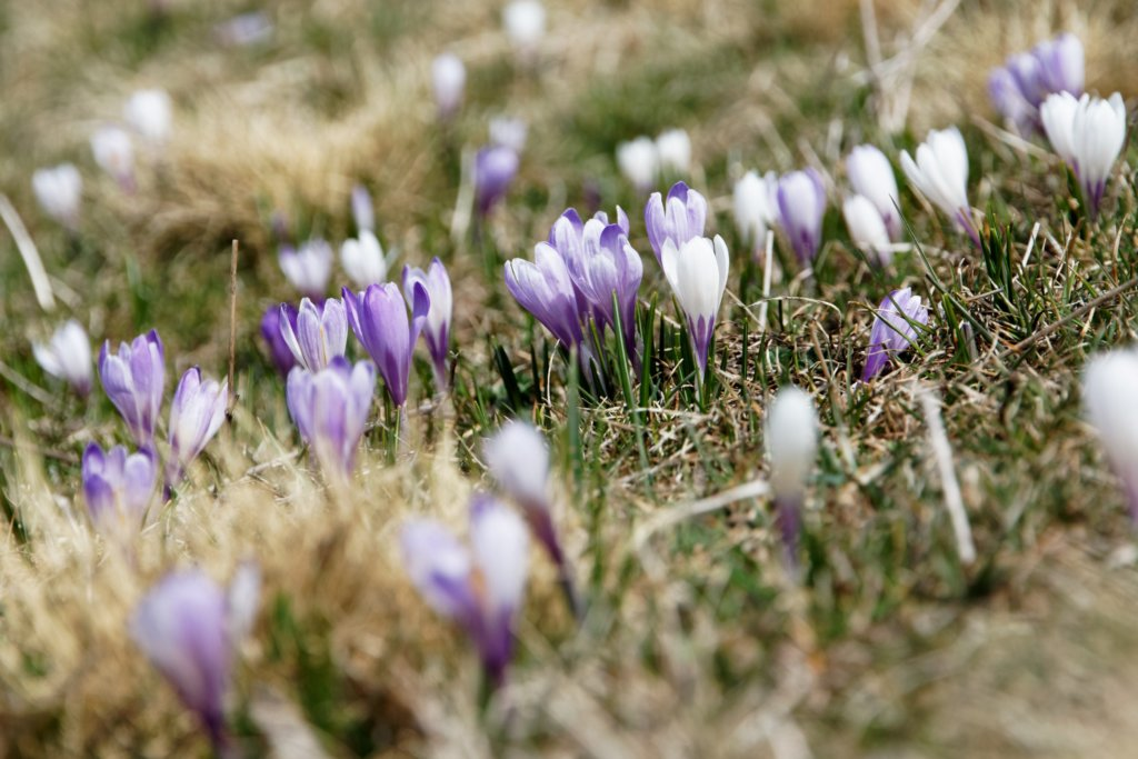 Early Spring Gardening Chores: Crocus Flowers